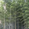 Dichter Bambuswald