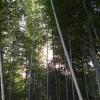 Die Sonne blitzt durch die dichten Bambusstämme