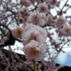 Makellose Kirschblueten
