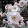Prächtige Kirschblueten