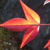Rotleuchtendes Blatt