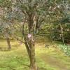 Tsubaki-Baum
