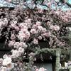 Zahlreiche Kirschblueten