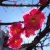 Pflaumenblüten bei Gegenlicht