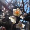 Weiße Pflaumenblüten